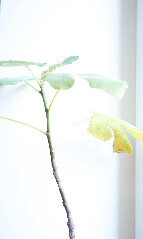 Drzewko figowe w domu