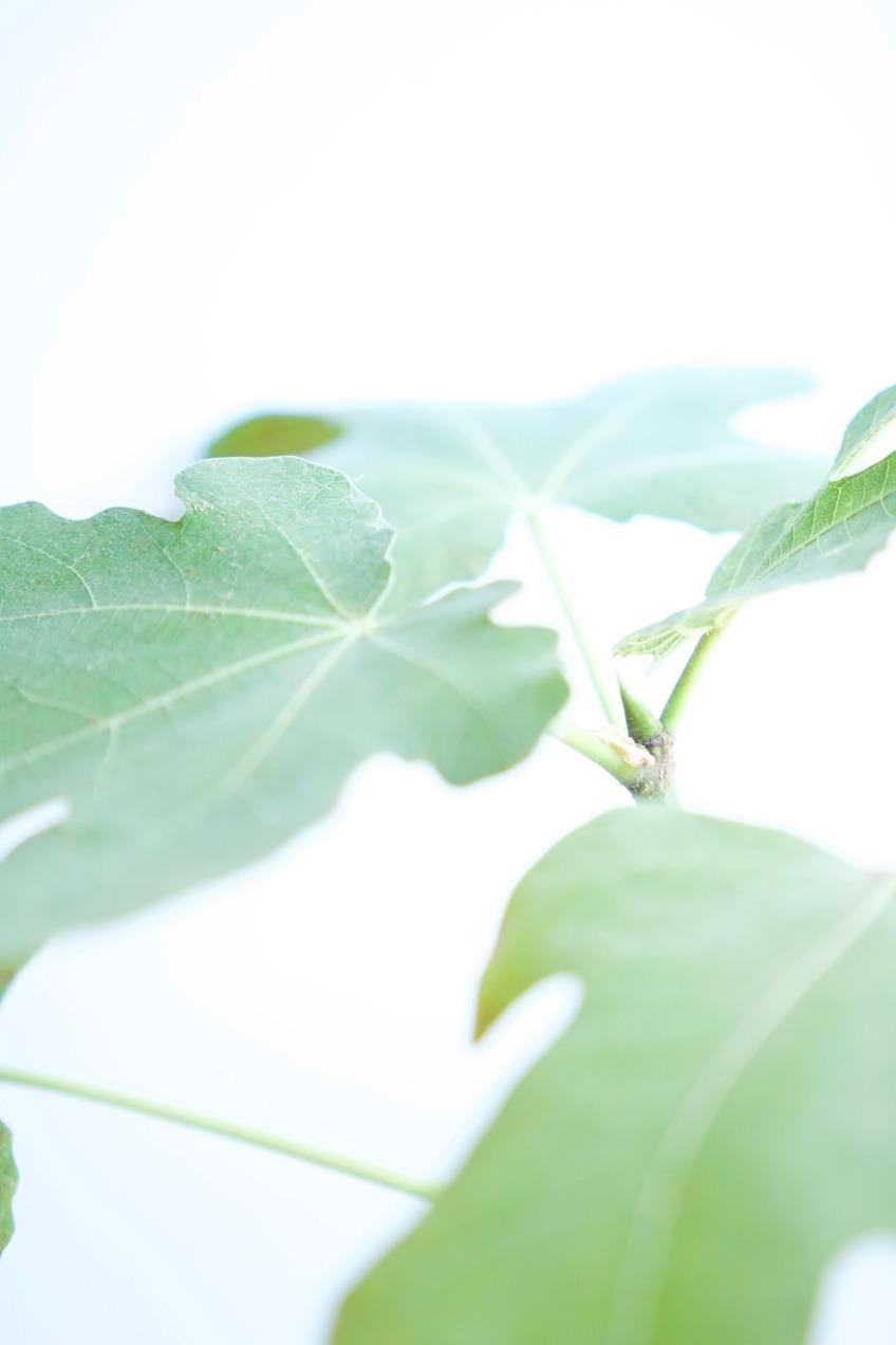 Drzewko figowe hodowane w domowych warunkach