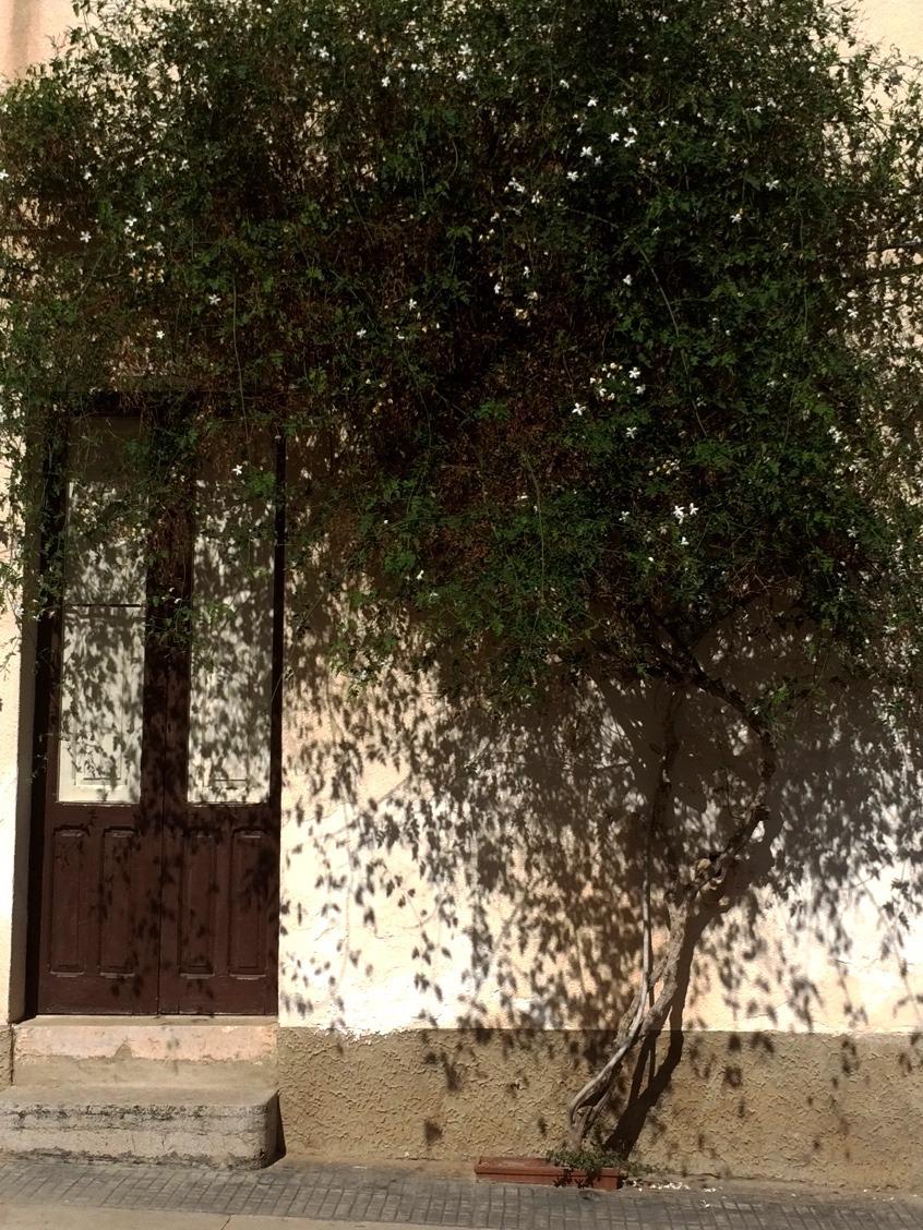 Zieleń miejska w Palermo. Jaśmin
