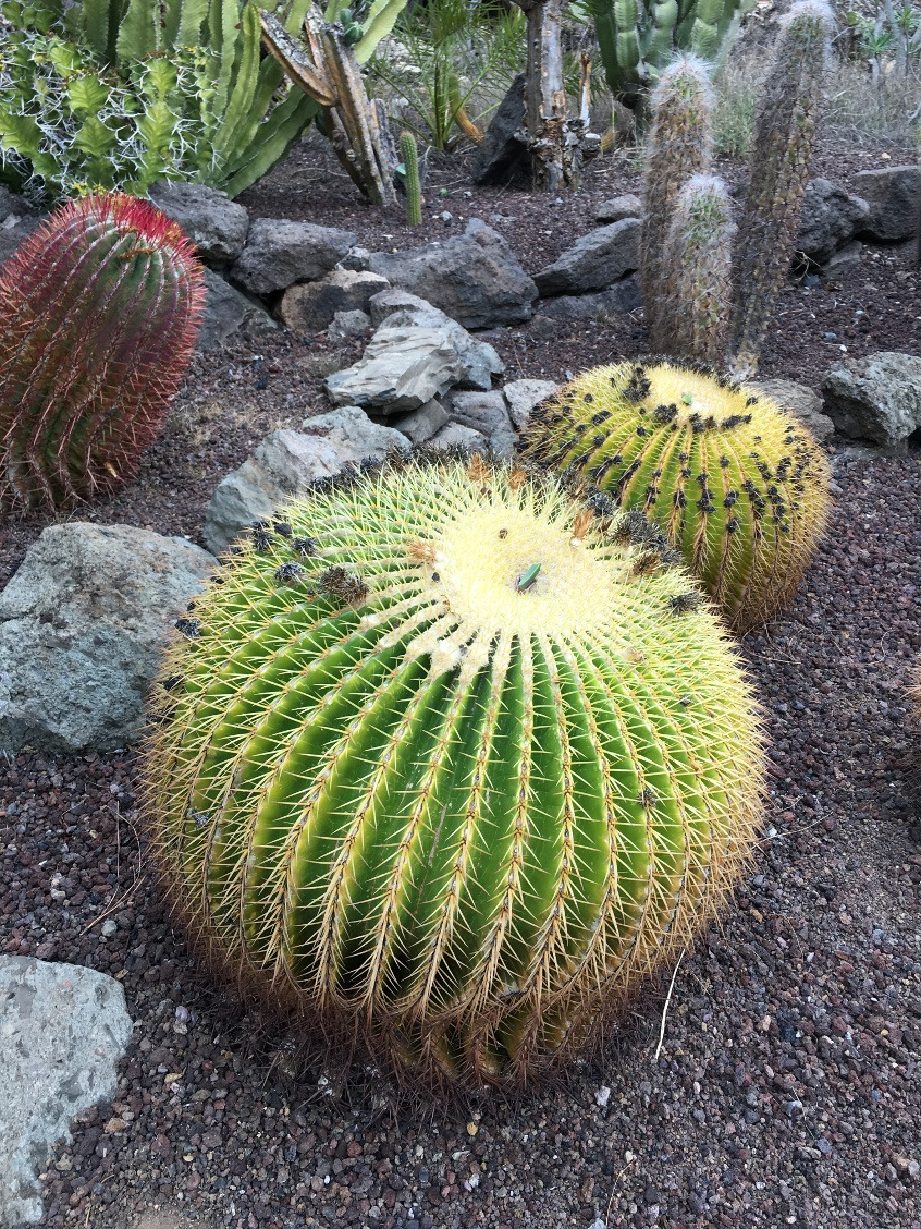 Gran Canaria kaktusy