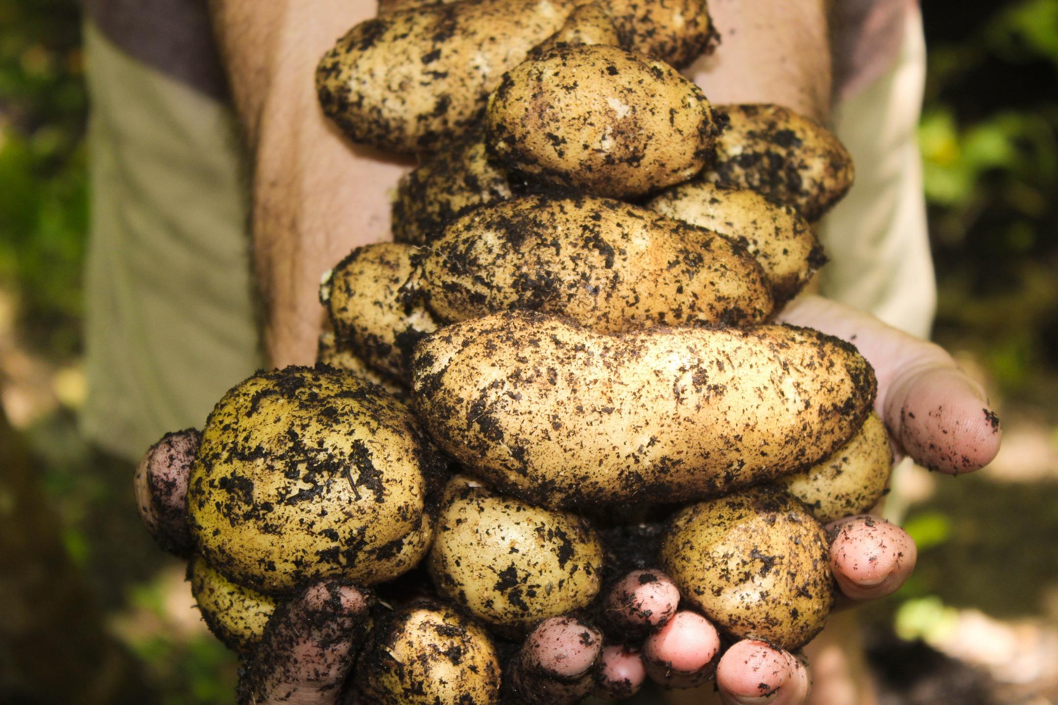 Jak wyhodować ziemniaki