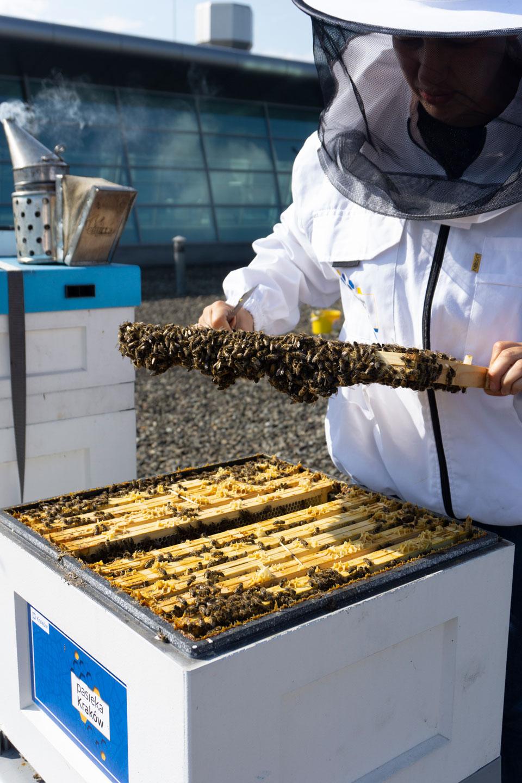 pszczoły miejskie