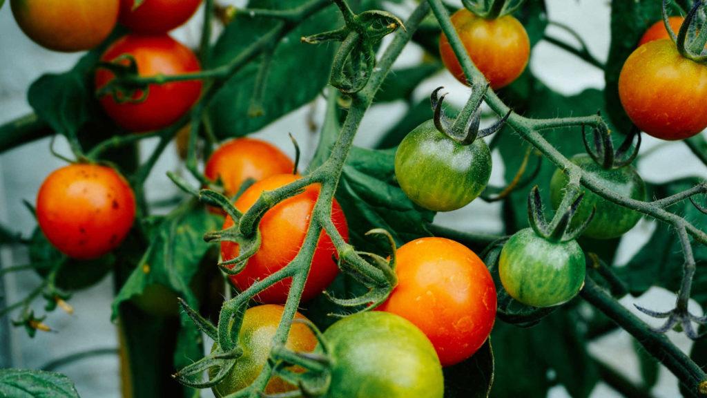 pomidory na balkonie